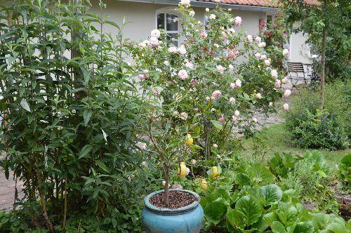 Rosenzauber im Juni